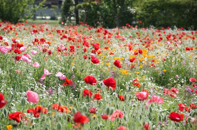 鳩山町のお花畑写真