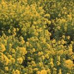 見沼田んぼの菜の花、2013年春その1