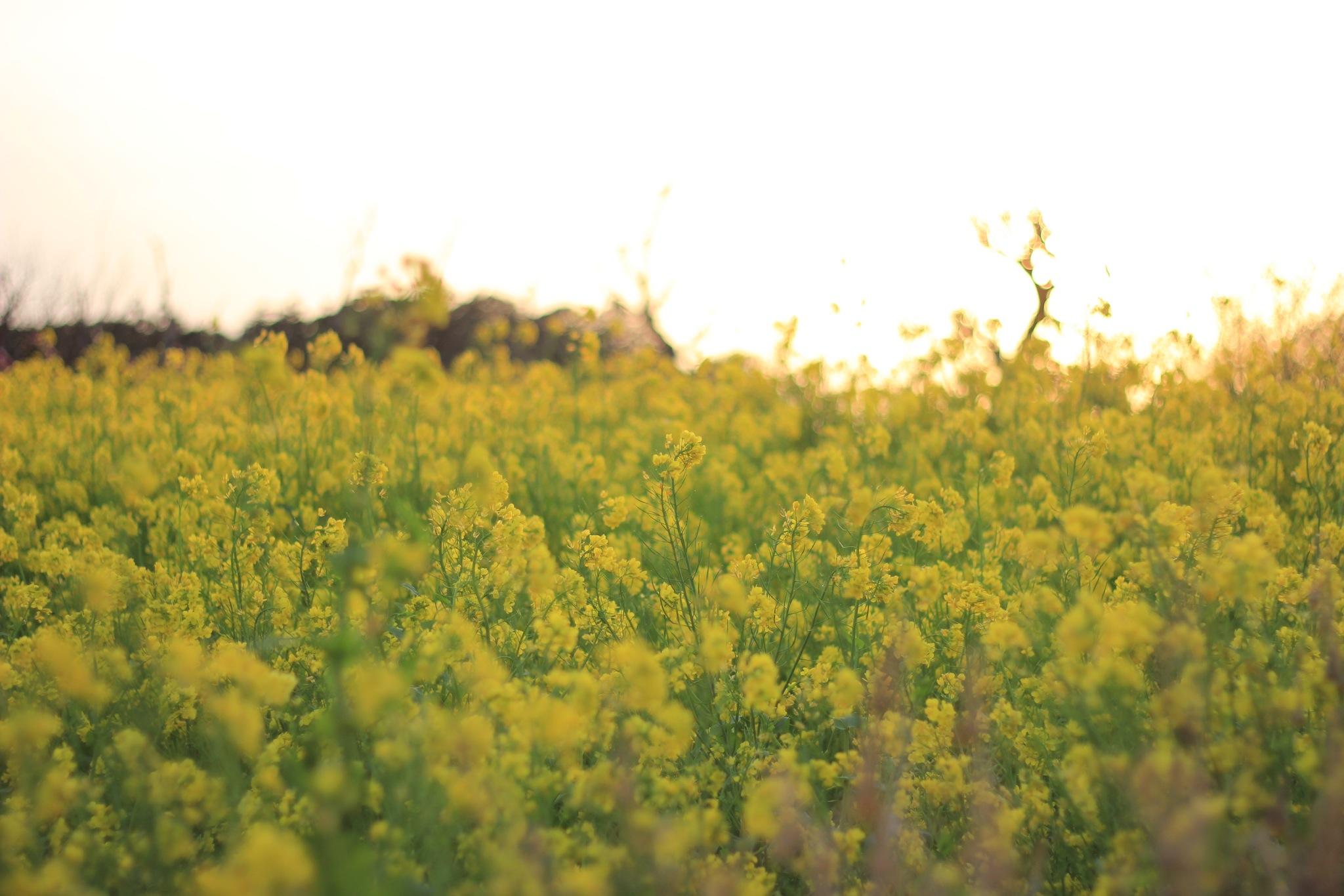 見沼田んぼの菜の花、2013年春その3