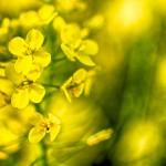 見沼田んぼの菜の花、2013年春その4