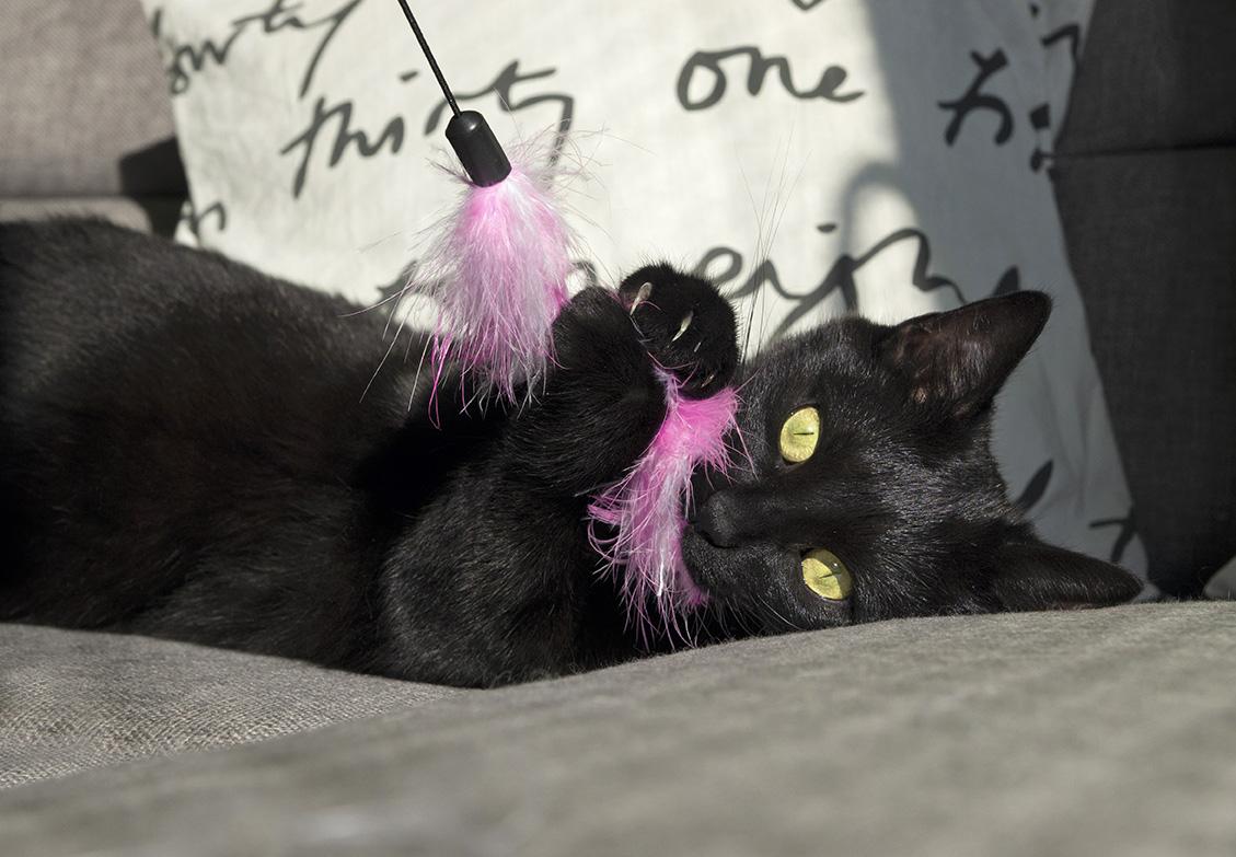おもちゃで遊ぶ黒い子猫の画像