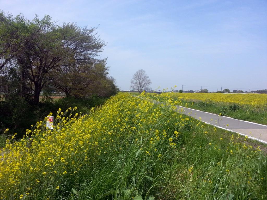 見沼田んぼ、芝川沿いの菜の花写真