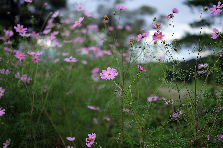 かんすい苑覚楽の前に咲いていたコスモス